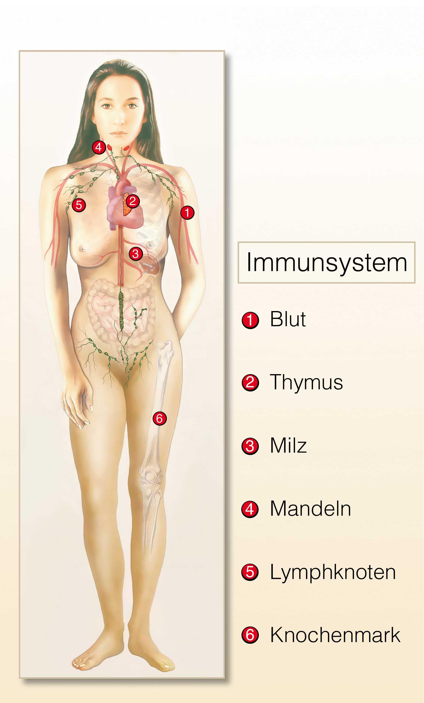 immunorgane